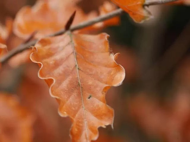 Charlecote park oak leaves