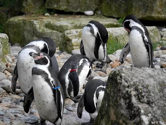 penguins at marwell