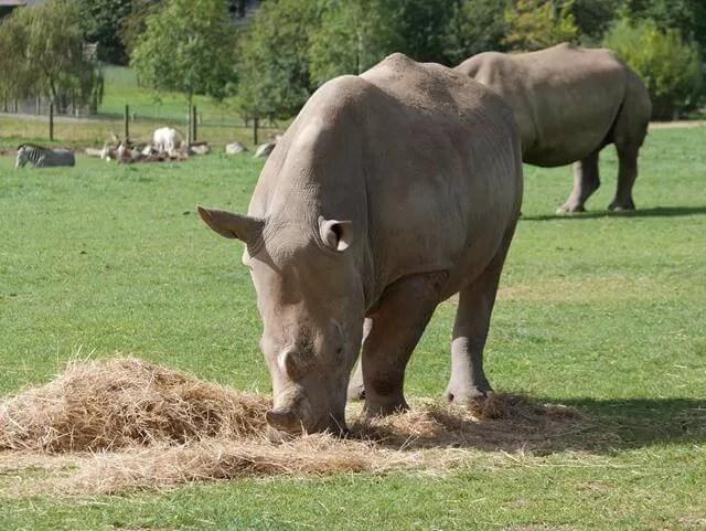 rhinoceros at marwell
