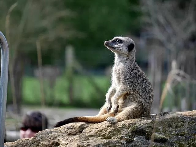 sitting meerkat at marwell zoo