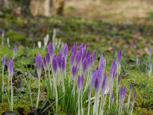 purple crocus shoots