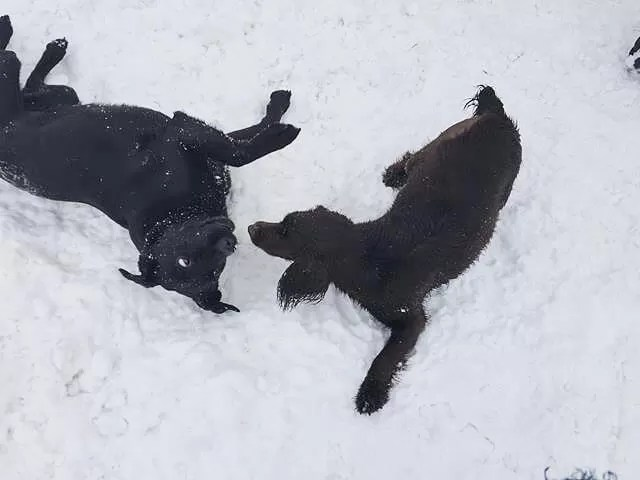 labrador and sprocker playing in snow
