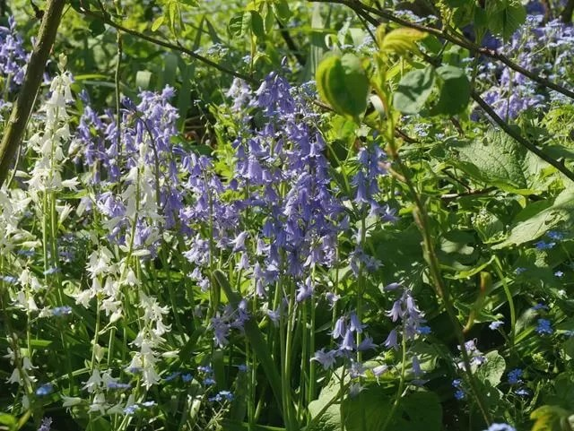 bluebells at rousham