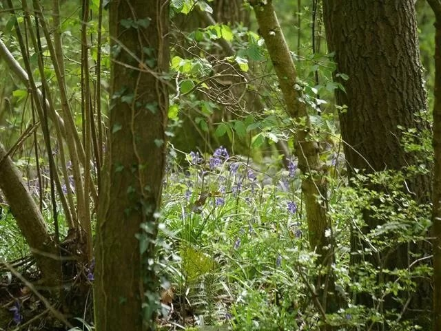 bluebells in foxholes nature reserve