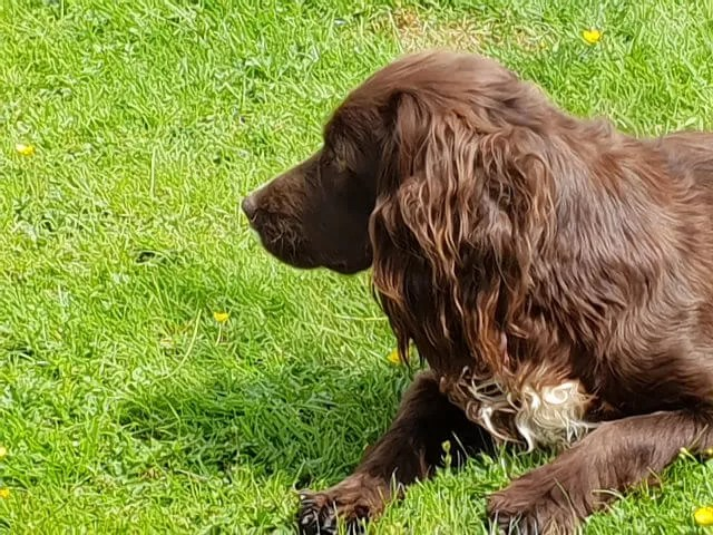 Brown sprocker spaniel on watch