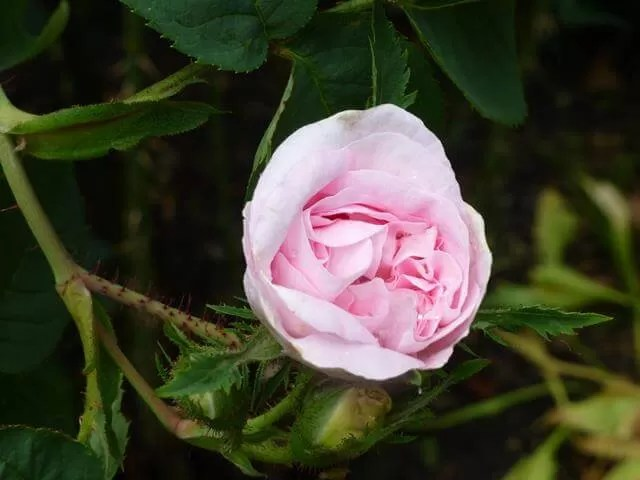 rose in georgian garden.