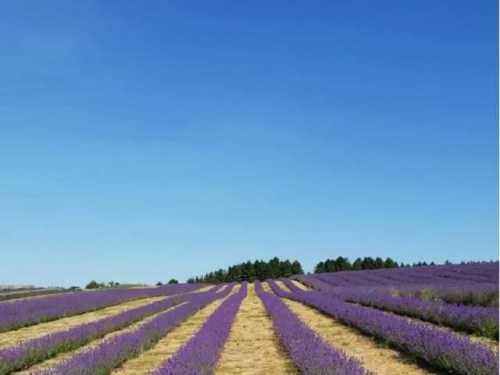 Cotswold lavender fields - Bubbablue and me