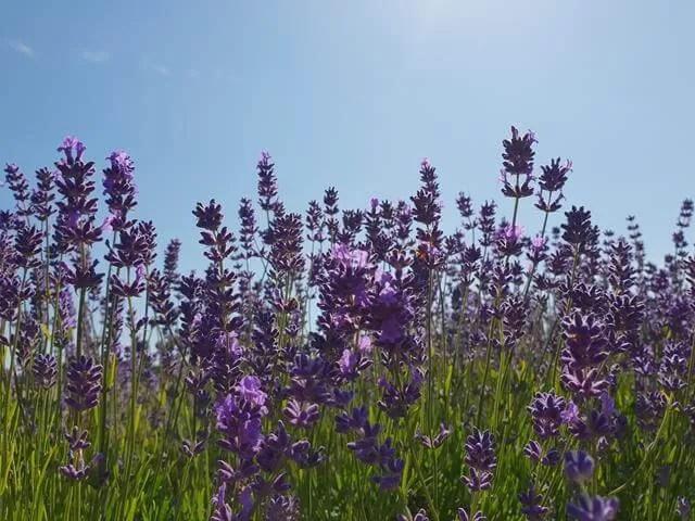 close ups of lavender
