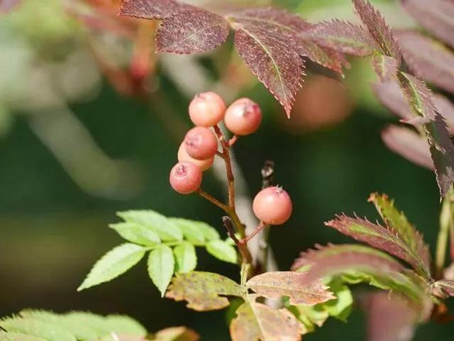 berries in hedges