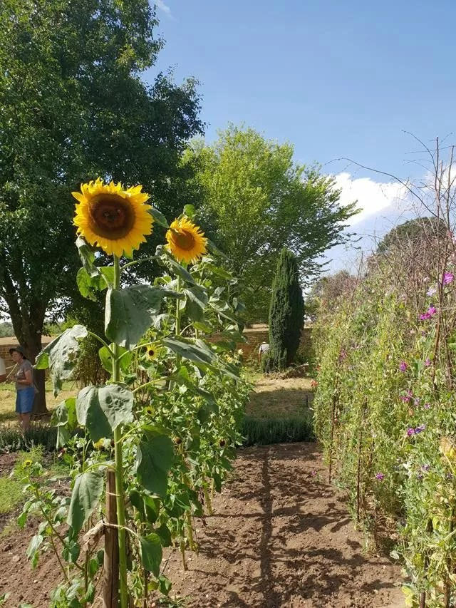 sunflowers at canons ashby.