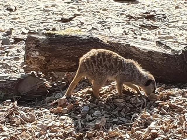 meerkat at woburn