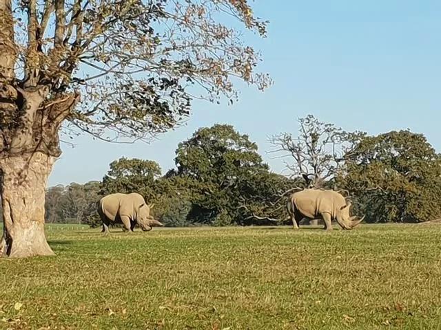 rhinos at woburn