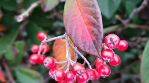 berries and rainbow colour leaves