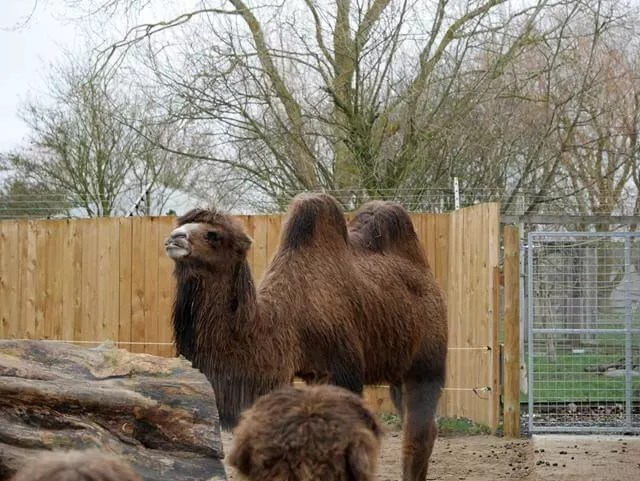 bactian camel