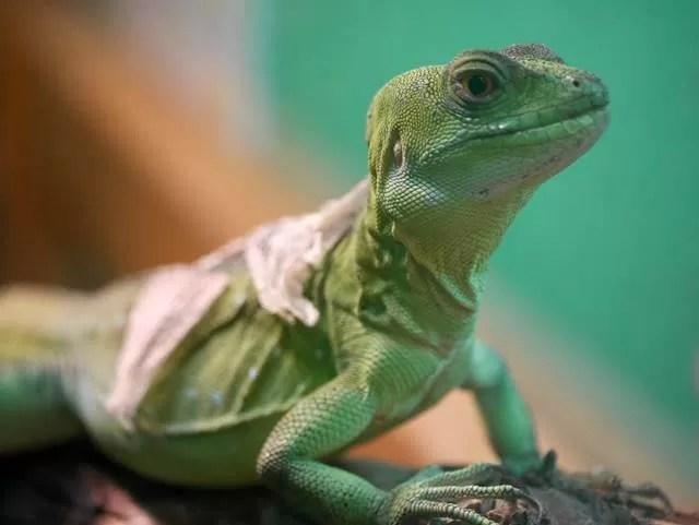 green lizard shedding its skin