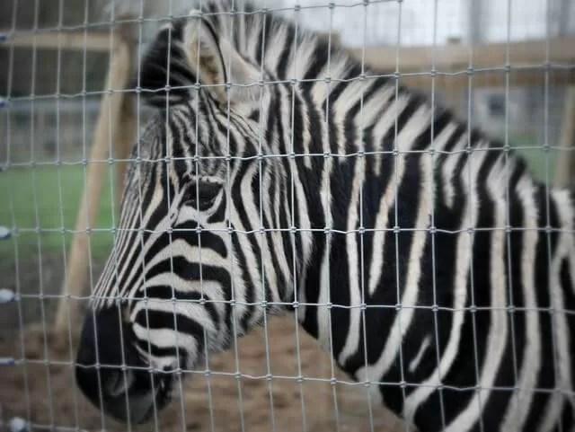 head shot of zebra