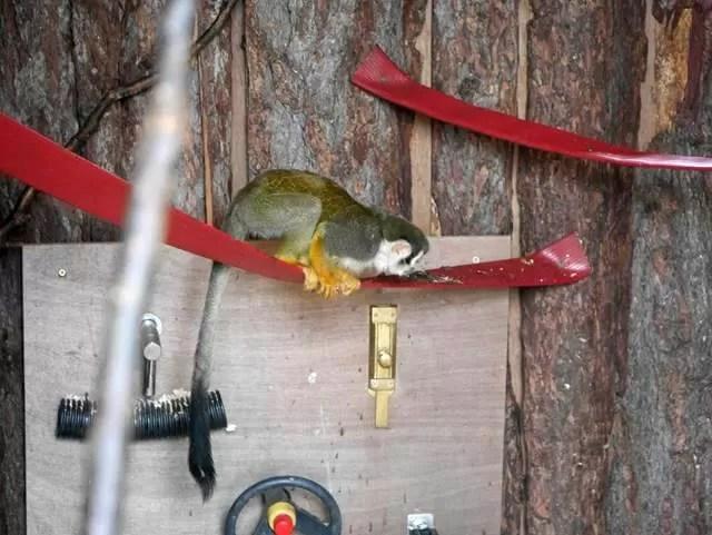 squirrel monkey on a wire