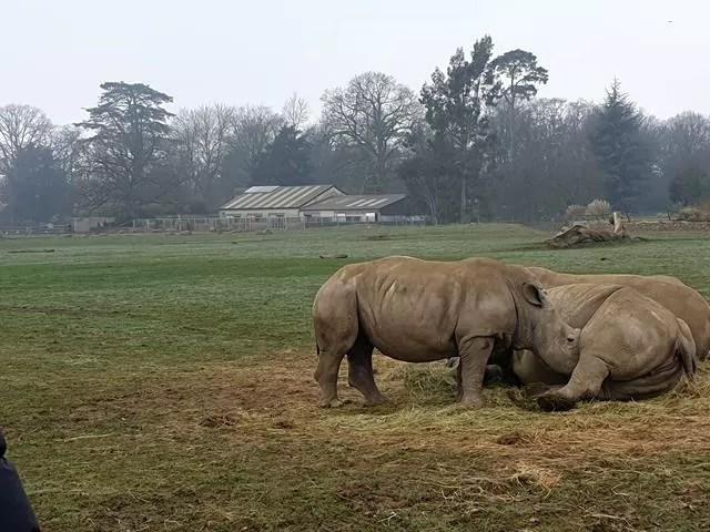 baby rhino feeding from lying down mum