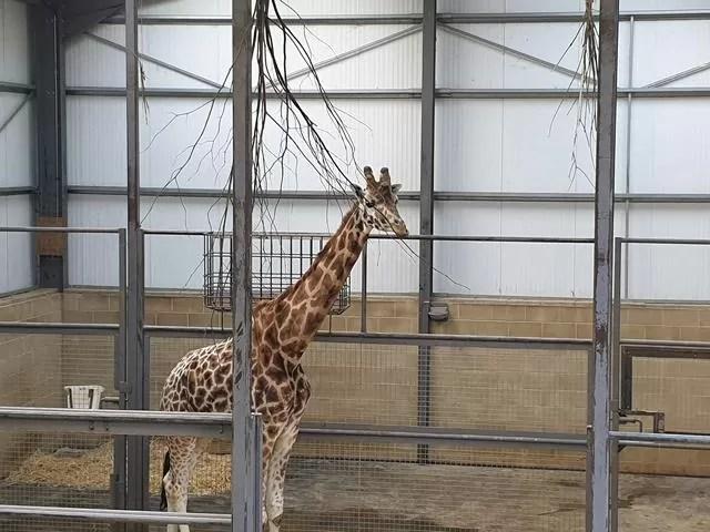 giraffe indoors