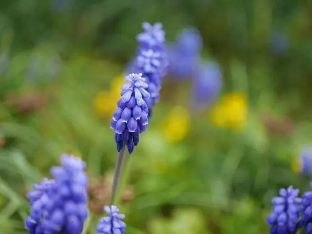 purple mini hyacinth