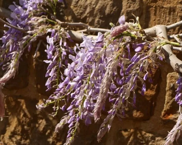 Project 52 2019 week 17 – wisteria