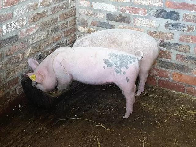2 eating piglets