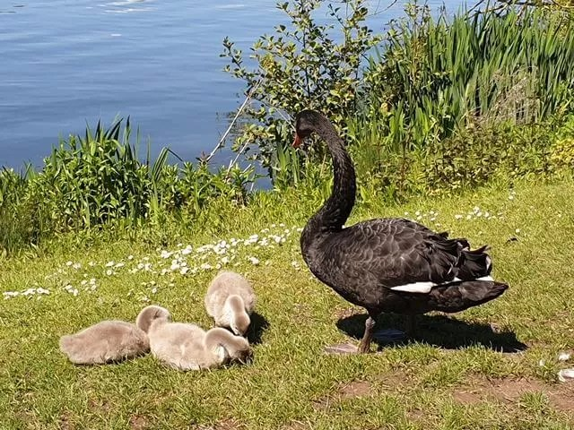 black swan and 3 cygnets
