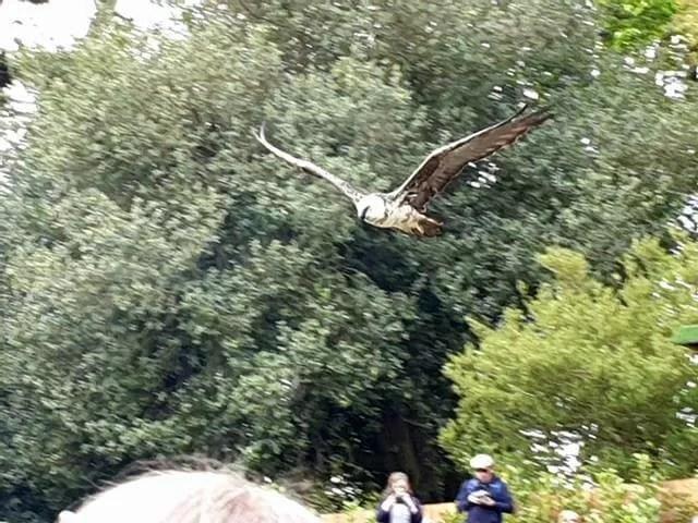 flying bird of prey