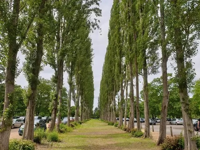 avenue of tall trees