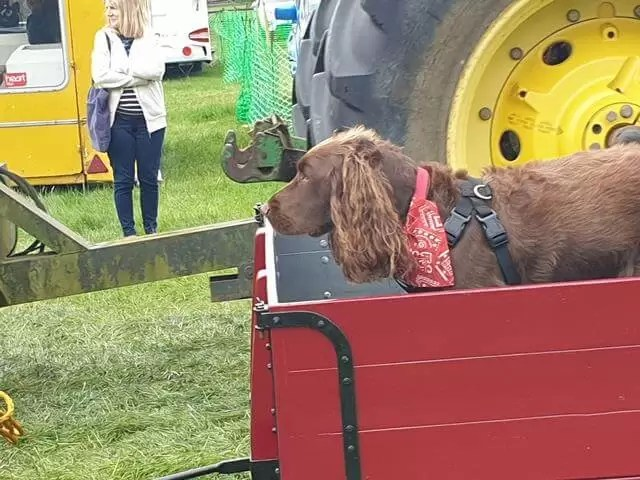 brown spaniel in a wagon
