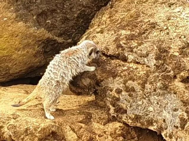 meerkat reaching up
