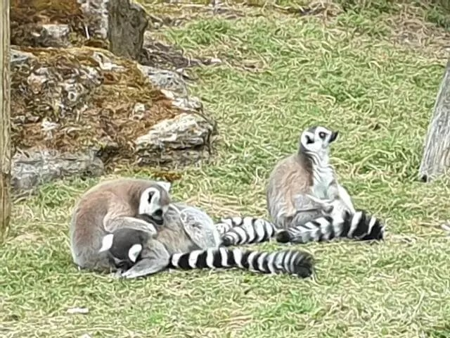 ring tailed lemurs cleaning