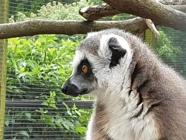 side portrait of lemur