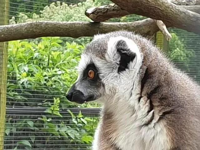 side portrait of lemur
