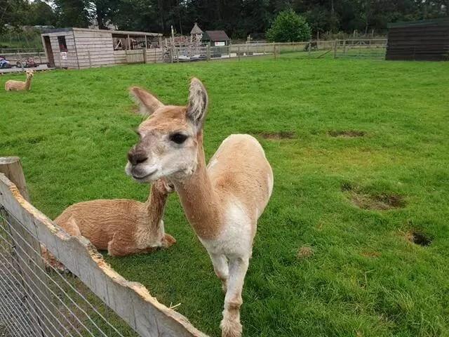alpaca coming to nosy