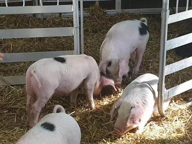 piglets from adam's farm