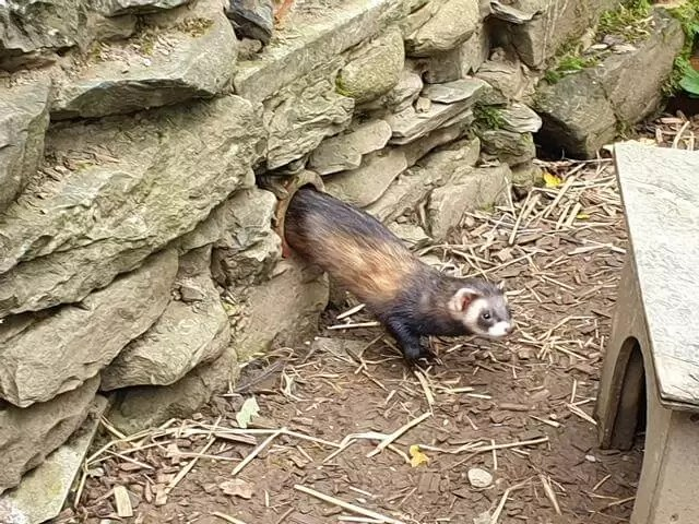 polecat emerging from hole