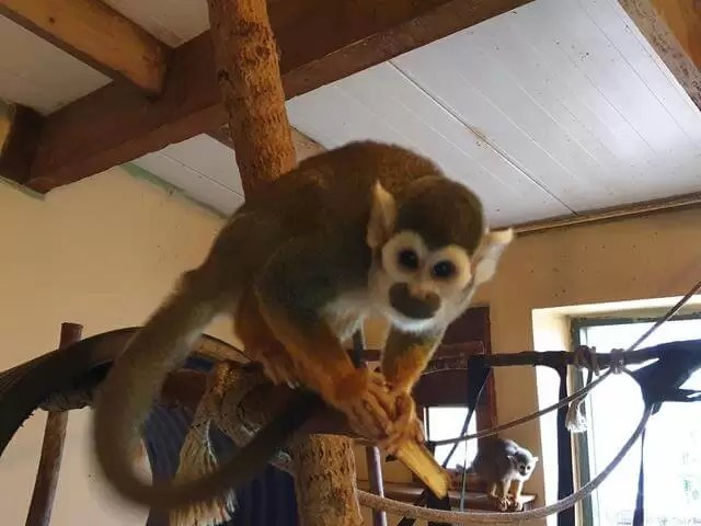 spider monkey looking