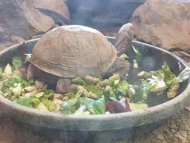 tortoise eating veg