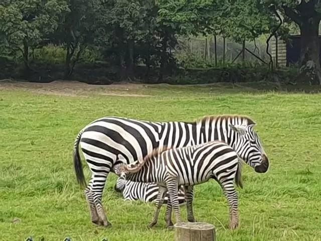 zebra foal feeding from mum zebra