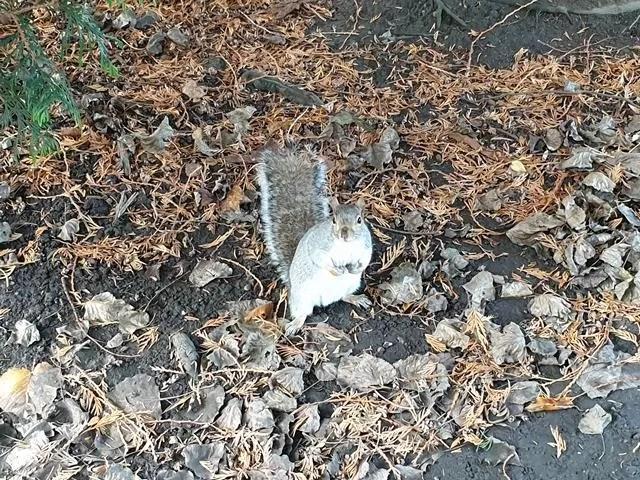 grey squirrel watching