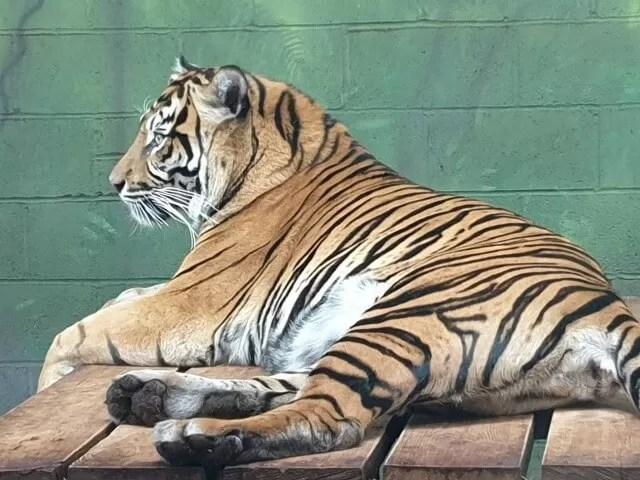 lazy tiger