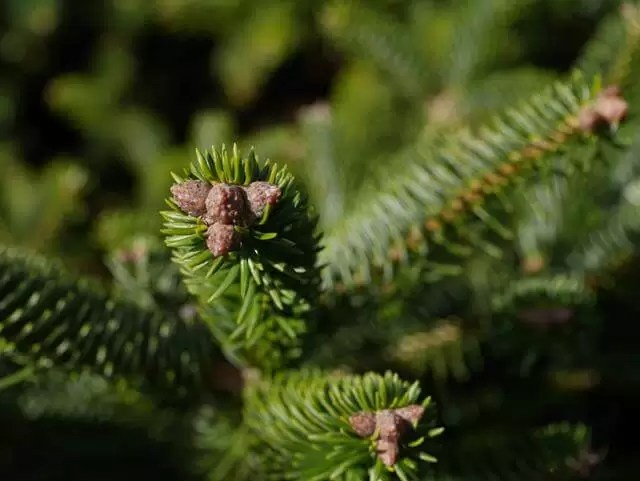 macro fir tree cones