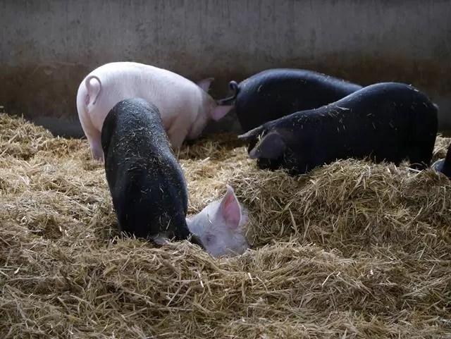 piglets with one hidden under straw