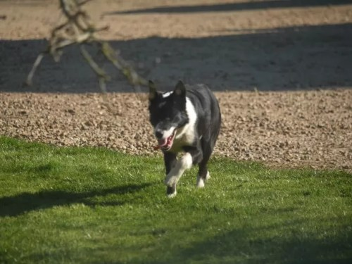 running sheepdog with tongue out