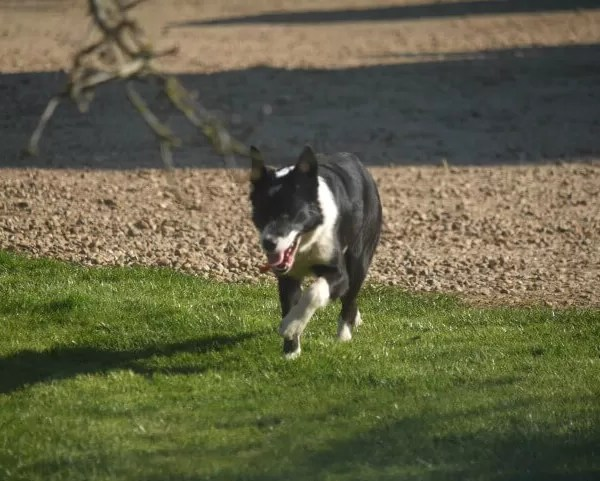 Project 52 2020 week 13 – collie