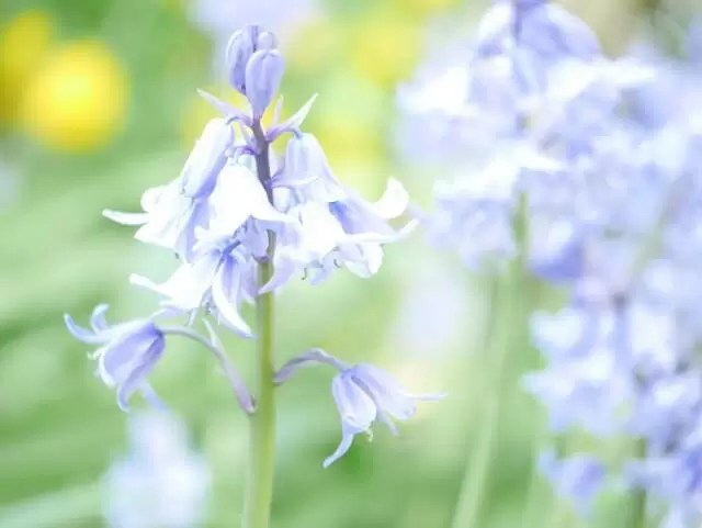 bluebells watercolour style washed out