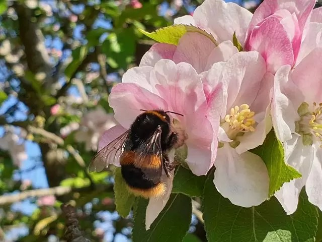 bee on pink apple blossom