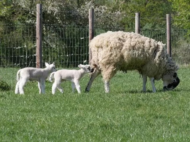 ewe eating grass with 2 lambs following behind
