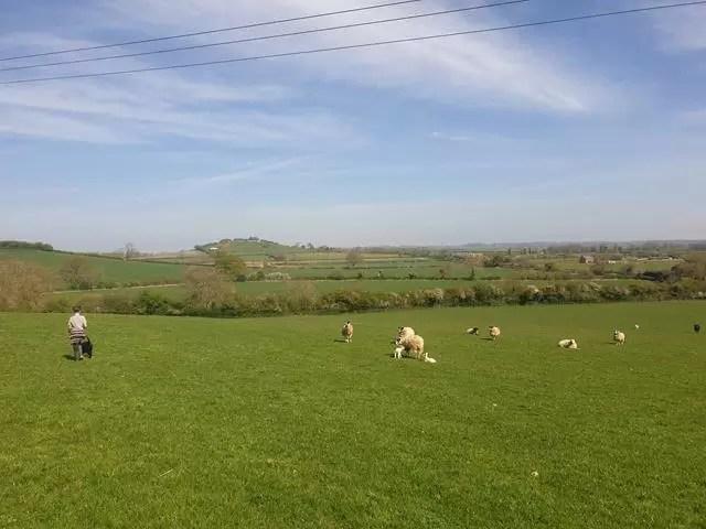 walking puppies in a sheep field